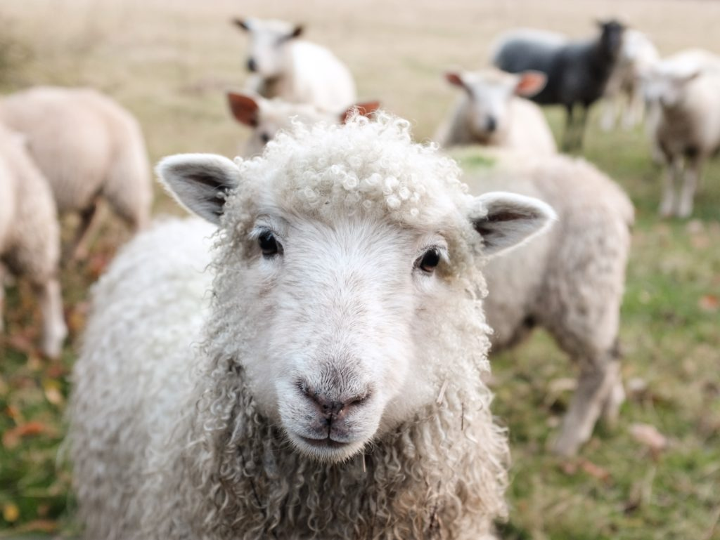 I think I am afforded one cute sheep photo in this article about merino wool.